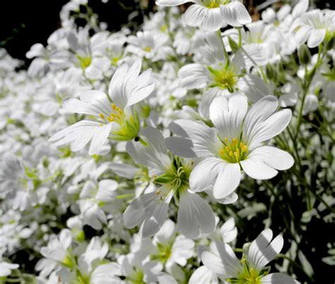 snow in summer seeds cerastium tomentosum