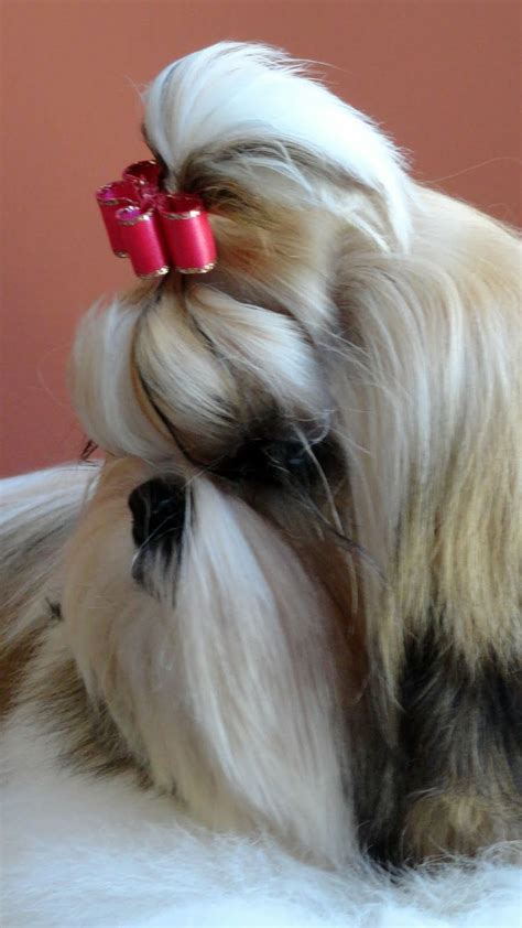 shu shih tzu dogs 25 best ideas about chao chao on squirrel calls inverted index and