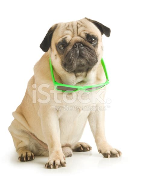 pug with sunglasses pug with sunglasses stock photos freeimages