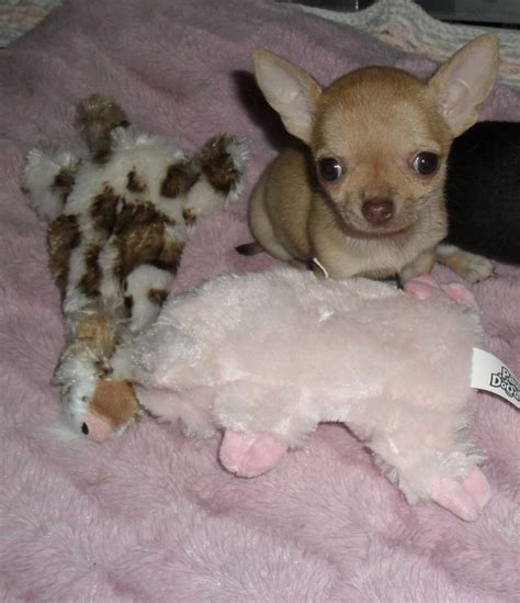 chihuahua puppies for sale chihuahua puppies for sale romford essex pets4homes