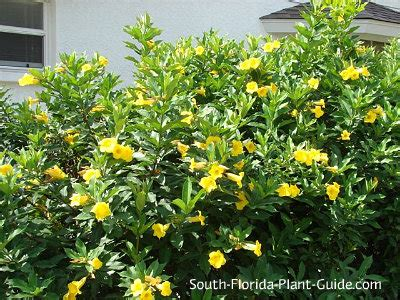 green shrub with yellow flowers bush allamanda allamanda schottii of all the allamanda
