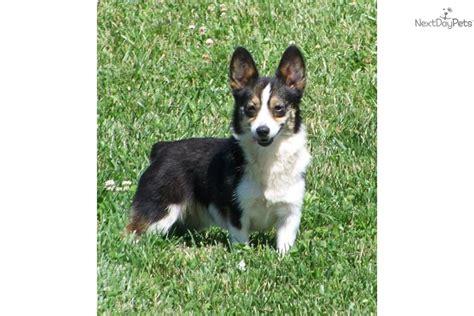 black corgi puppies adopt teka a corgi pembroke puppy for black tri