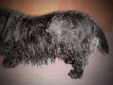 seborrhea in dogs related keywords suggestions for seborrhea oleosa
