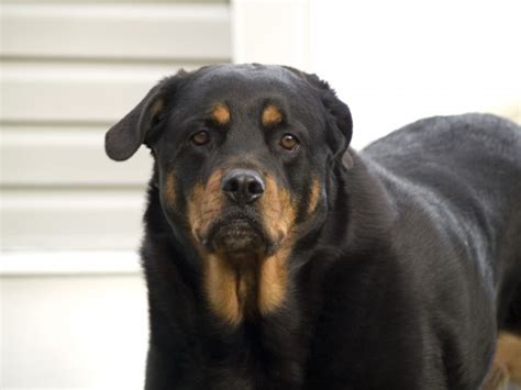 how strong is a rottweilers bite bite treatment at home or by a doctor