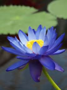 Lotus Plants For Sale Australia Nymphaea Gigantea Australian Blue Waterlily Nymphaceae