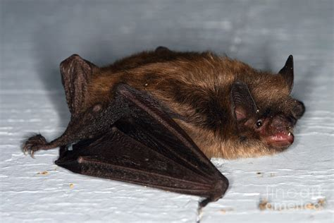 facts about brown bats bat removal saginaw county