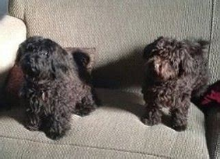 havanese puppies idaho view ad havanese puppy for sale idaho cascade