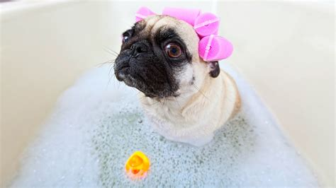 pug getting a bath pug wants a bath and won t give up until she gets way