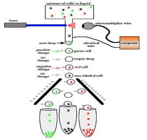 facs diagram fluorescence activated cell sorting related keywords