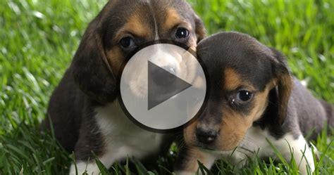 newborn beagle puppies puppies beagle fan club part 2
