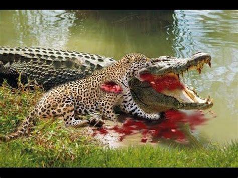 amazing wild animal attacks  jaguar  crocodile