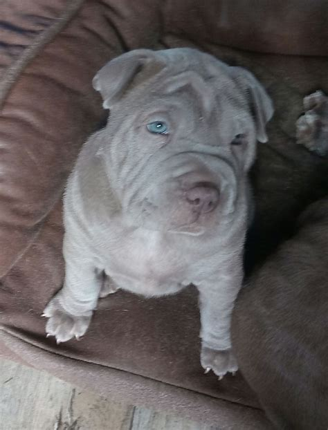 bull pei puppies for sale bull pei puppies for sale witney oxfordshire pets4homes