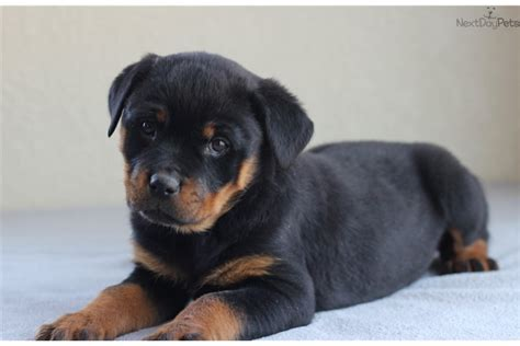 rottweiler puppies for sale in missouri rottweiler puppies akc registered for sale breeds picture