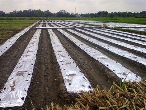 Bibit Welut cara menanam budidaya tomat pertanian