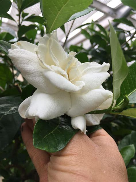 gardenia jasminoides bessey greenhouse richard  pohl