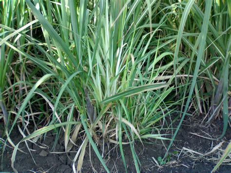 Deficiency Diseases In Plants - sugarcane grassy shoot disease news
