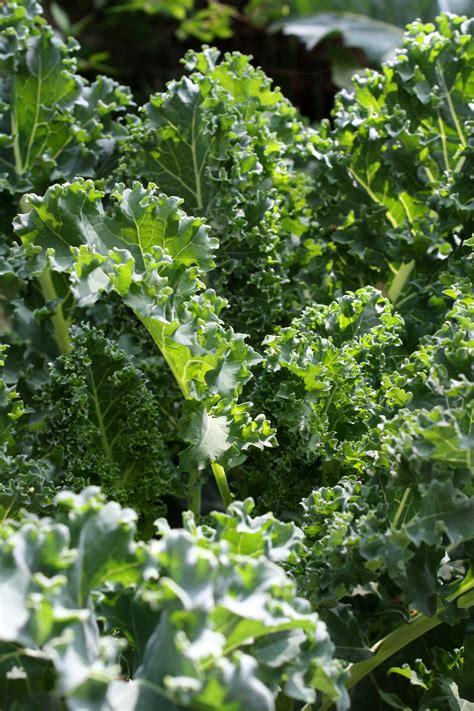 Kale Garden by Kale Growing In Garden Picture Free Photograph Photos