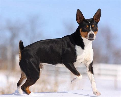 rat terrier new breeds the american kennel club recognizes more types
