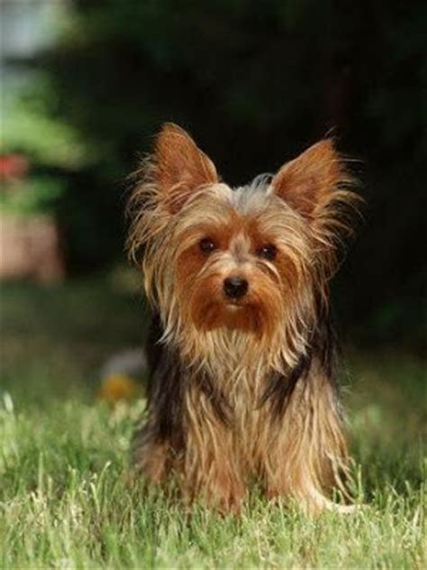 yorkshire terrier haircuts instructions dog grooming instructions grooming photos dog grooming