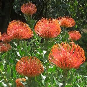 Snapdragon Flowers Australian Seed Leucospermum Cordifolium