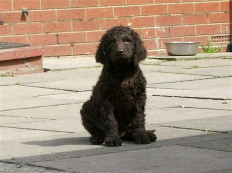 water spaniel puppies for sale water spaniel puppies for sale lancashire pets4homes