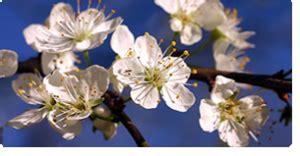 fiori di bach cherry plum cherry plum fiore di bach per chi teme di perdere il