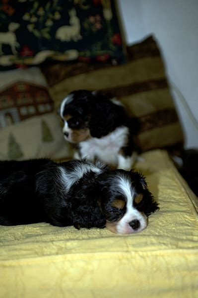 fosse the cavalier king charles spaniel pictures 12442