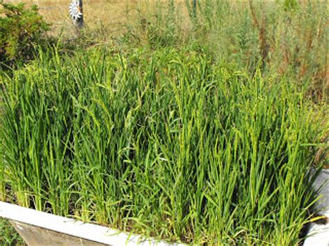 how to grow rice at home patriot rising