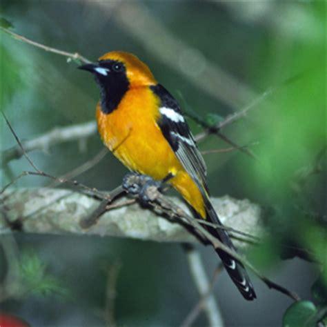 birds of iowa icteridae