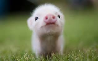 pig wallpapers images wallpapers pictures photos