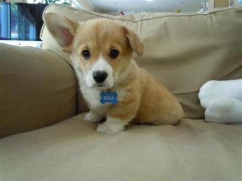 floppy puppy floppy eared corgi the