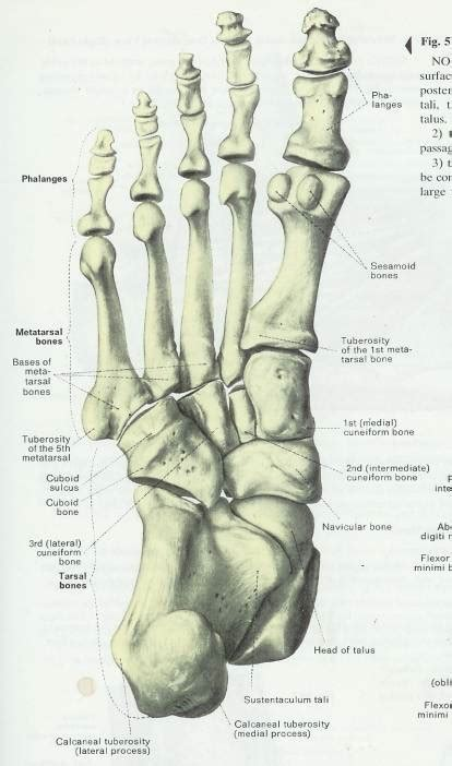 Planter Of Foot by Foot Anatomy Plantar Surface