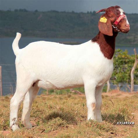 de cabras raza de cabras boer aqu 237 encontraras toda la informacion