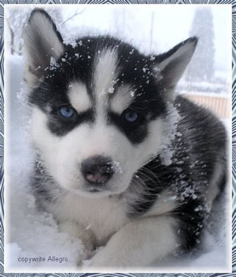 snow husky puppy husky puppy in the snow favething
