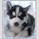 Cute Husky In Snow | 425 x 500 jpeg 108kB