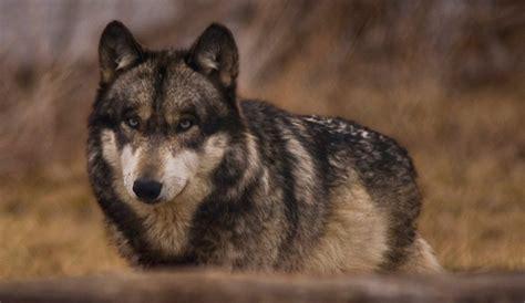 el lobo de los informaci 243 n b 225 sica sobre los lobos