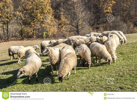 how to a to herd sheep herd of sheep on mountain pasture stock images image 35337364