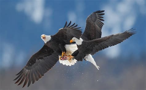 bald eagles mating white wolf spectacular photos show mating ritual between
