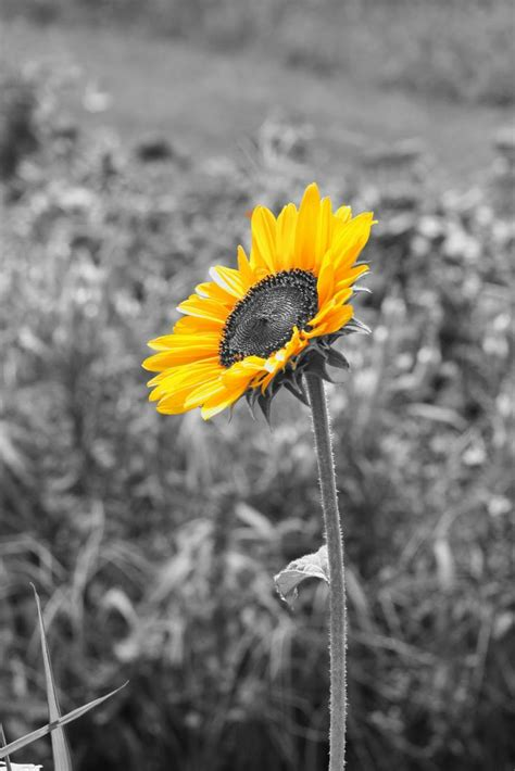 color black and white photos pin by reardon on sunflowers flowers black