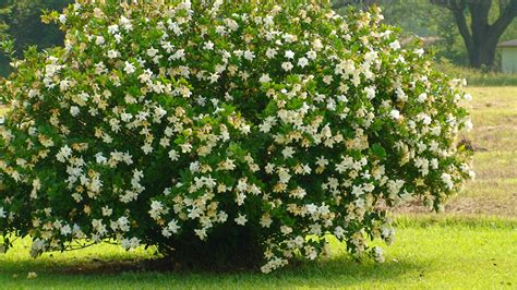 Gardenia Shrub Gardenia Bush The Grounds
