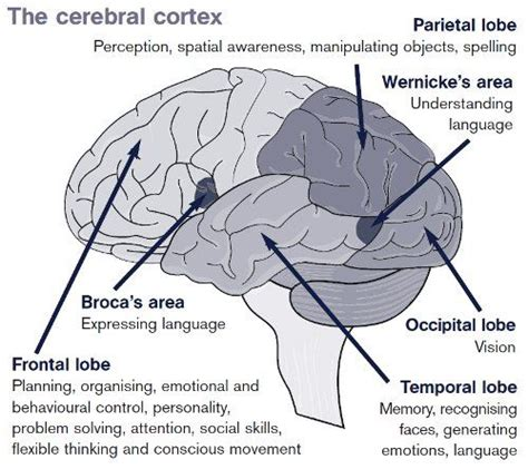 sections of the brain and what they control 17 best ideas about cerebral cortex on pinterest