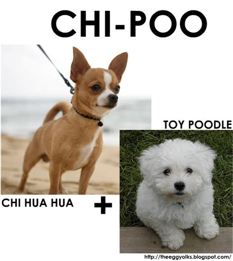 chi poodle lifespan 17 best images about nala on chihuahuas