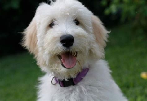 doodle rescue central florida goldendoodle puppies by moss creek goldendoodles in
