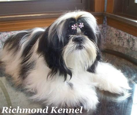shih tzu adults shih tzu adults