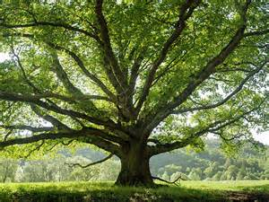 tree images the names and variations of trees quiz britannica