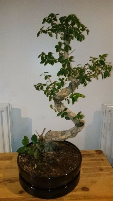 bonsai style indoor plant ficus microcarpa ginseng