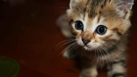 kitten wallpaper for pc happy kittens hd wallpapers i have a pc