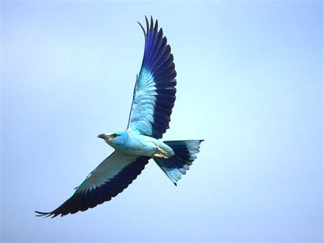 Beautiful Flying Birds Wallpapers Beautiful Bird Flying