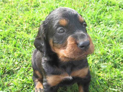 setter dogs for sale uk only 1 kc registered gordon setter puppy beaworthy
