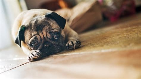 pug diarrhea treatment e infection in dogs symptoms causes and treatments dogtime